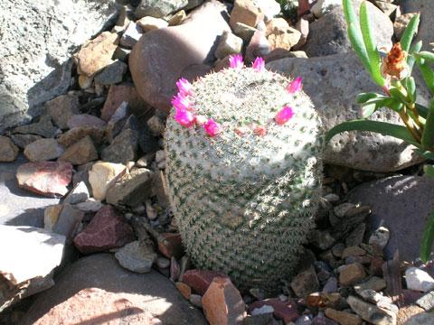 CactusCrown3